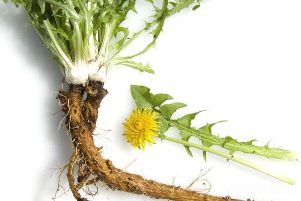 Dandelion Root – Rễ Cây Bồ Công Anh