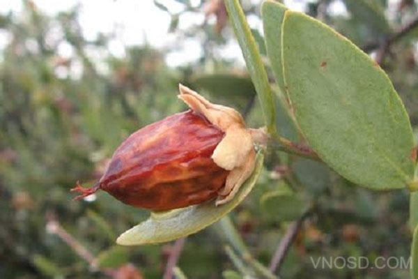 Simmondsia Chinensis (Jojoba) Seed